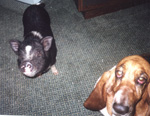 Opie the pig and Glory the dog begging thumbnail