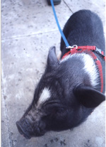 closeup of Opie the pig thumbnail